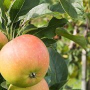 azzeruolo frutto