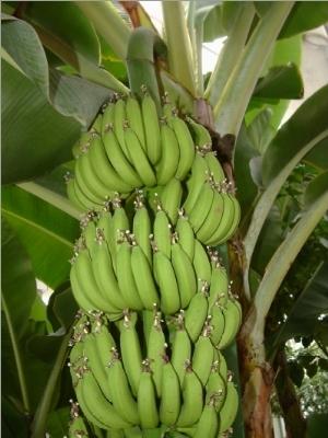 Banano musa acuminata frutti tropicali - Pianta banano ...