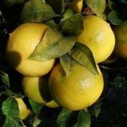 Frutto di Bergamotto