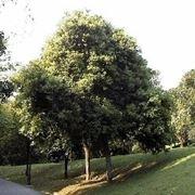 cinnamomum zeylanicum