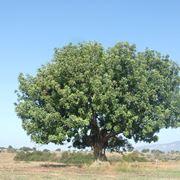 carrubo pianta