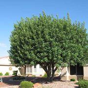 carrubo albero