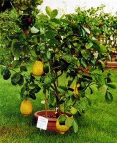 Cedro citrus medica agrumi for Piante da frutto che resistono al freddo
