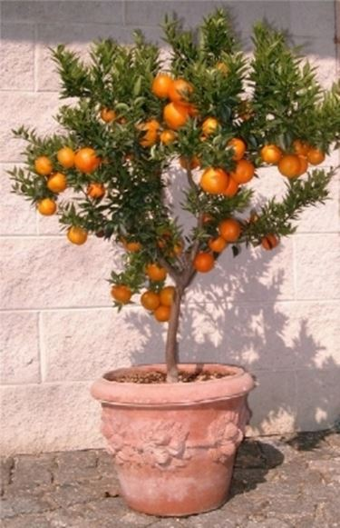 Chinotto citrus myrtifolia agrumi for Pianta di limoni in vaso