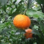Clementino con frutto