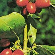 corniolo frutto