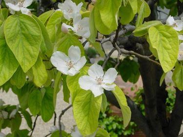 Il tipico fiore del Cotogno