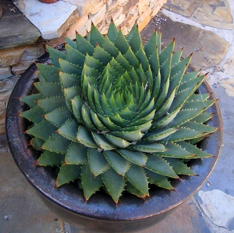 Pianta di Aloe vera in vaso