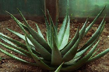 pianta di Aloe Ferox