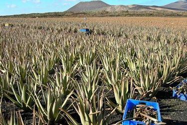 Piantagioni di Aloe Ferox