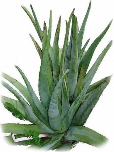 aloe pianta
