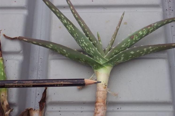 La matita indica a che livello interrare la pianta quando la si rinvasa