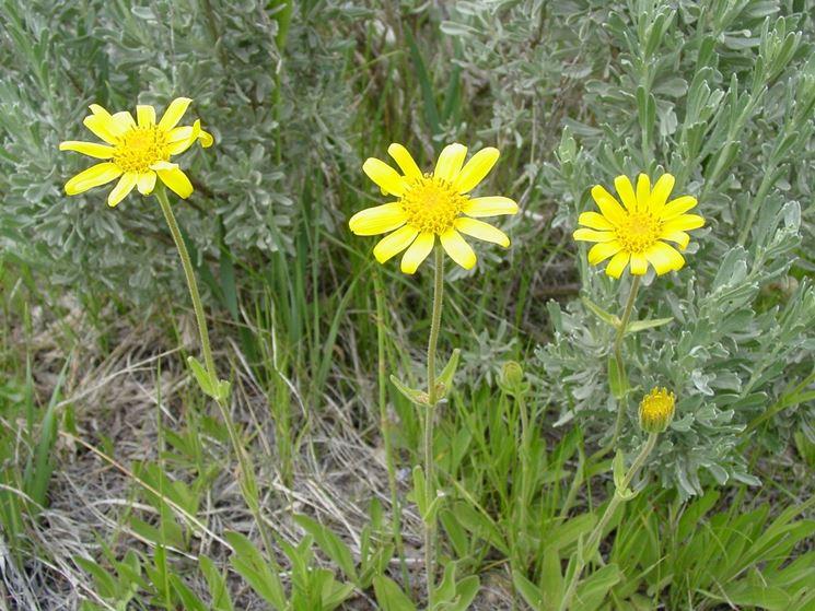 arnica fiore nei prati