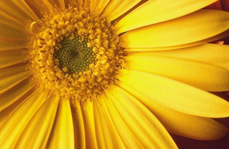 fiore arnica montana