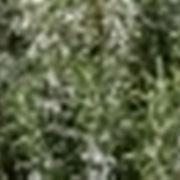decotto di rosmarino