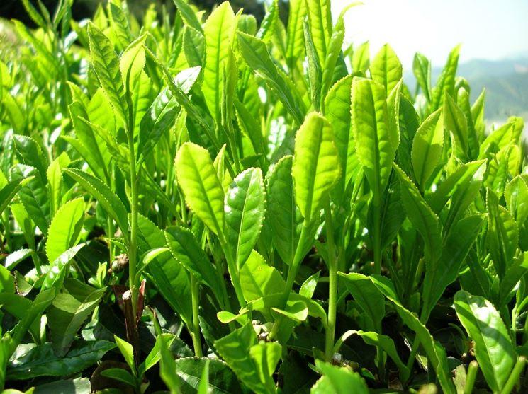 pianta thé verde