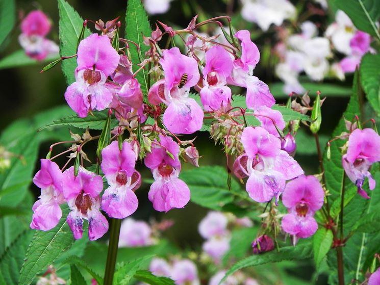 Un esemplare della pianta da cui si ricavano i fiori di Bach impatiens