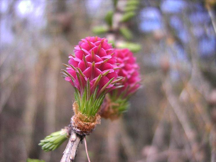 Fiore di Larix Decidua