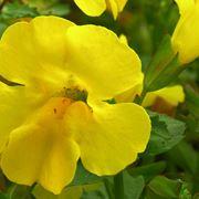 Fiore di mimulus