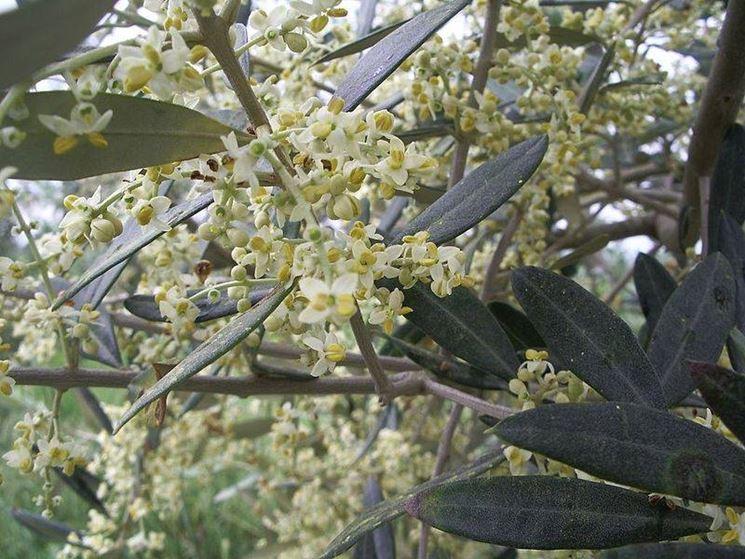 Infiorescenza di olivo