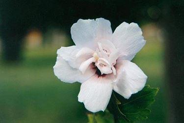 fiore di altea