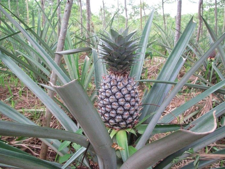 Ananas fitoterapia for Pianta ananas