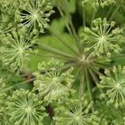 infiorescenze angelica