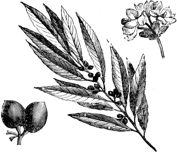 I fiori, le foglie, e le bacche, del laurus nobilis