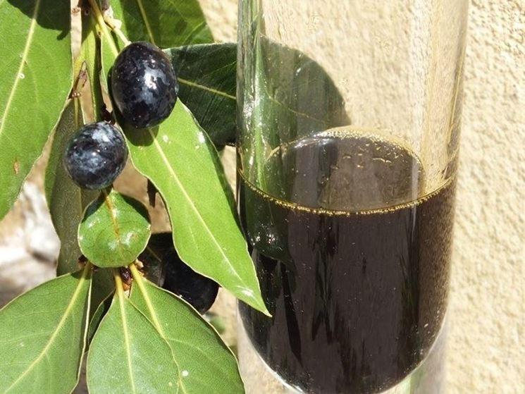 L'olio realizzato con le bacche di alloro