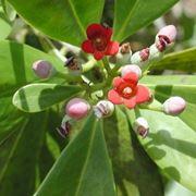 fiori cannella