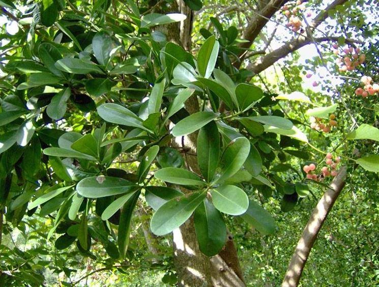pianta cannella