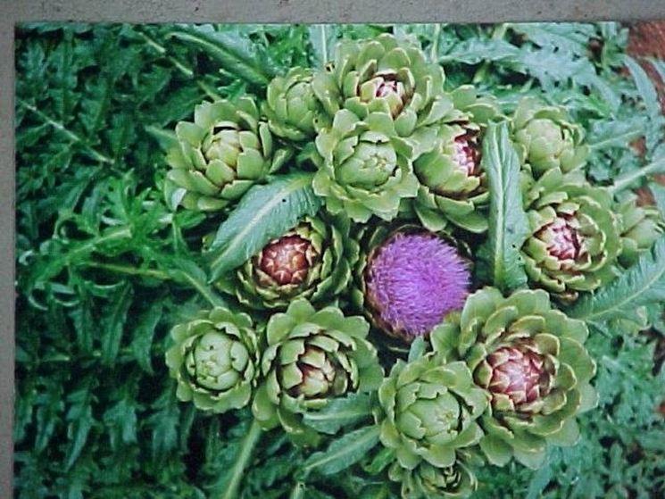 pianta di carciofi