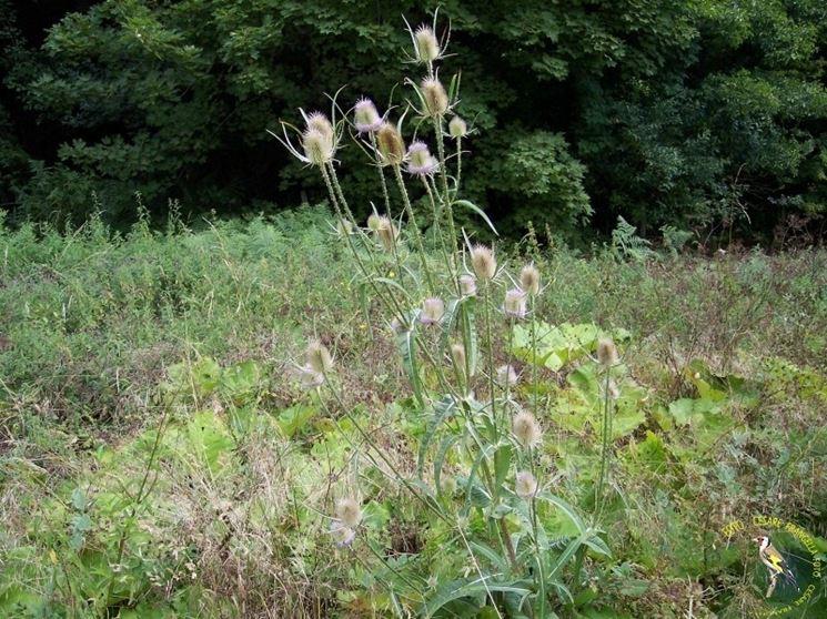Il cardo dei lanaioli cresce ovunque sui terreni rocciosi e nei fossi