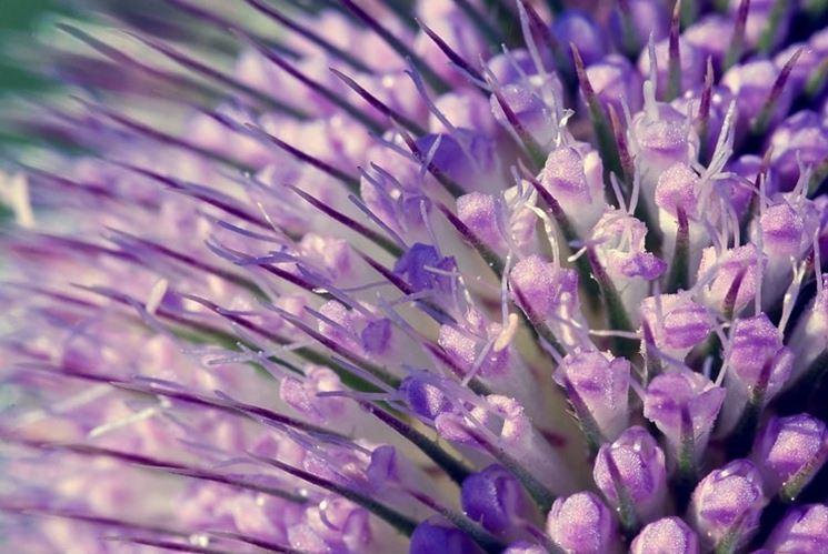 I piccoli fiori viola che compongono la florescenza del cardo dei lanaioli