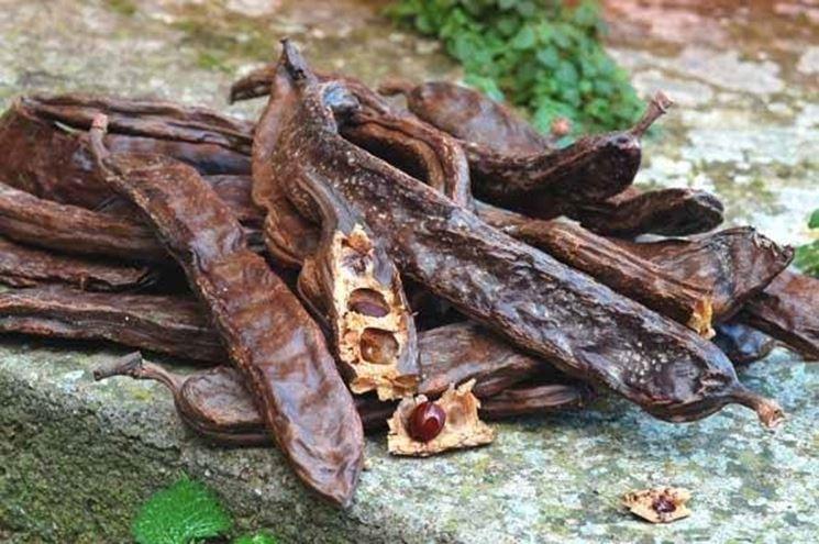 Baccello di carruba con semi.
