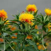 Fiore di cartamo