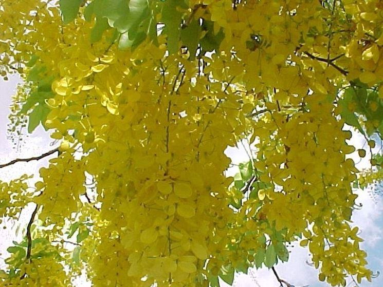 cassia nomame fiorita