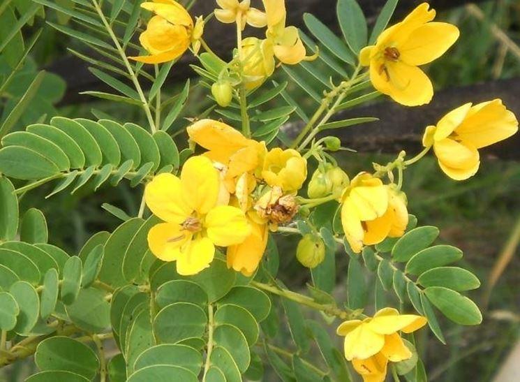 Fiore di cassia