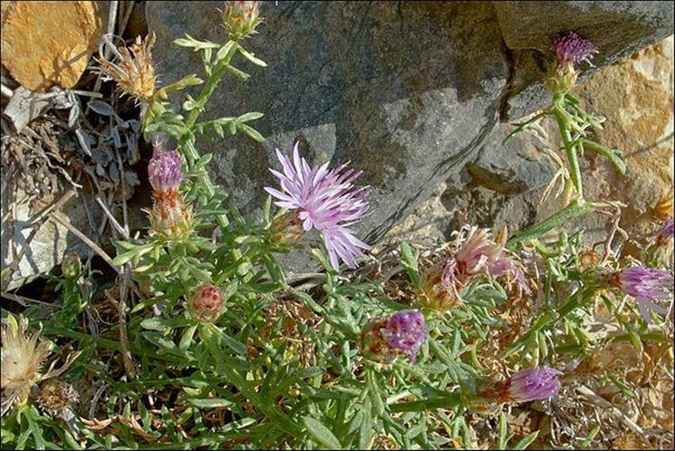 pianta di centaurea