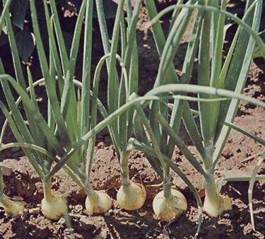 cipolle coltivate