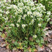 pianta di coclearia