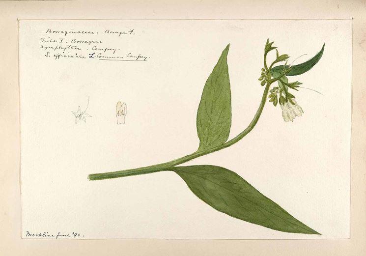 Illustrazione botanica della consolida