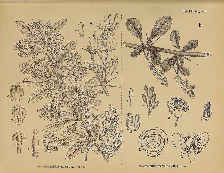 Illustrazione botanica di crespino, accanto ad un'altra specie del genere Berberis