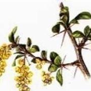 crespino pianta