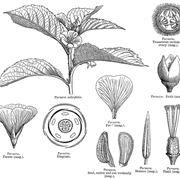 Disegno botanico della turnera aphrodisiaca