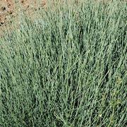 Efedra sinica