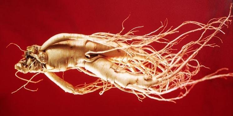 radice di pianta di Eleuterococco