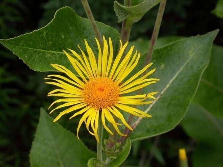 enula fiore