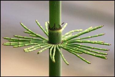 pianta d'equiseto
