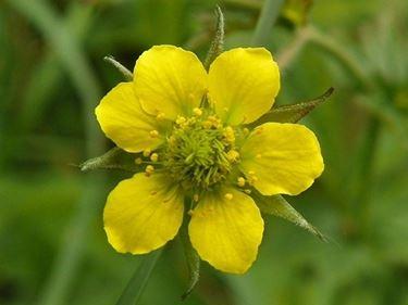 erba benedetta: particolare di fiore